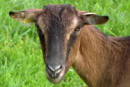 Appendice minima: il ruggito della capra